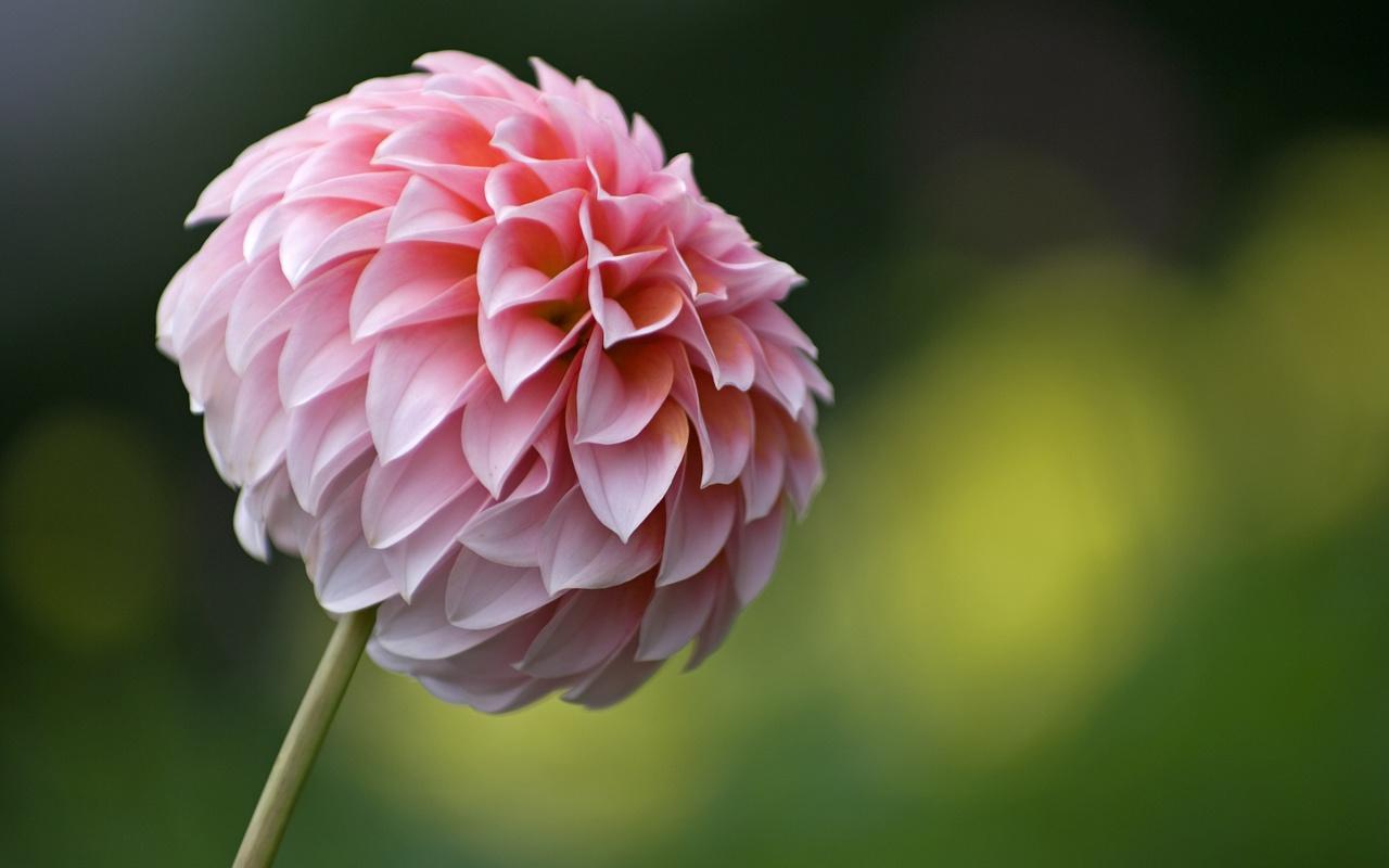 георгина цветок капли скачать