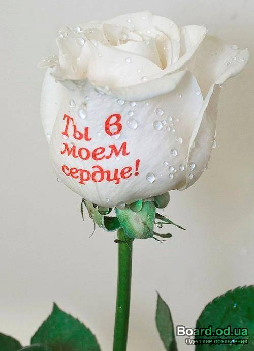 Белые розы любимой девушке картинки с надписями